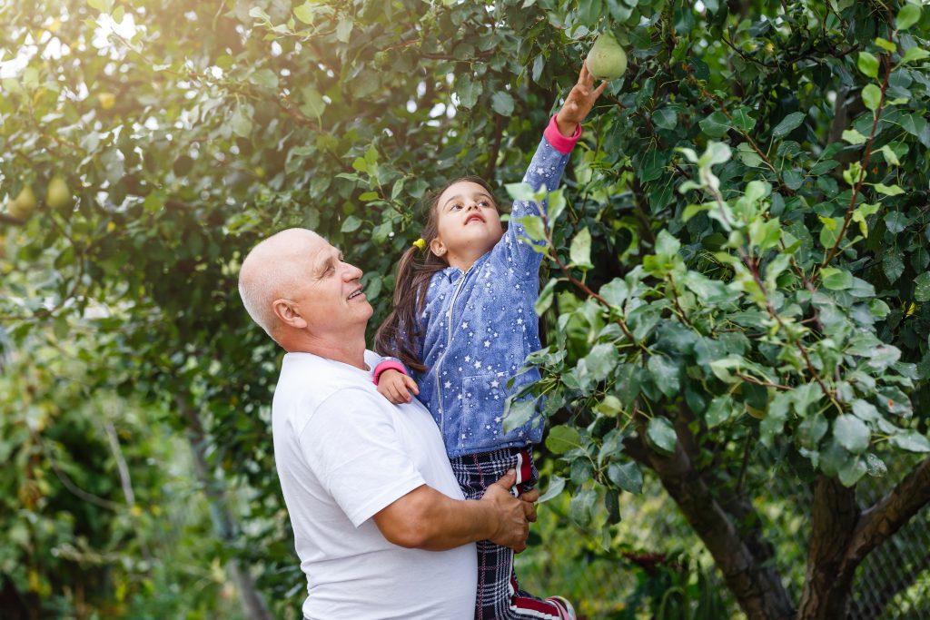 Opa hilft seiner Enkelin die Birne zu pflücken